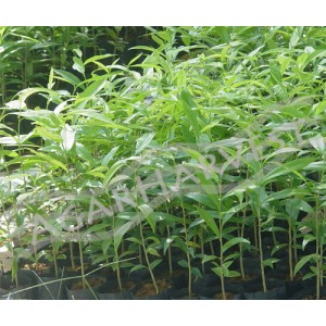 Agarwood Seedlings 1000unit