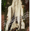 Agarwood Tree Logs 50 kg