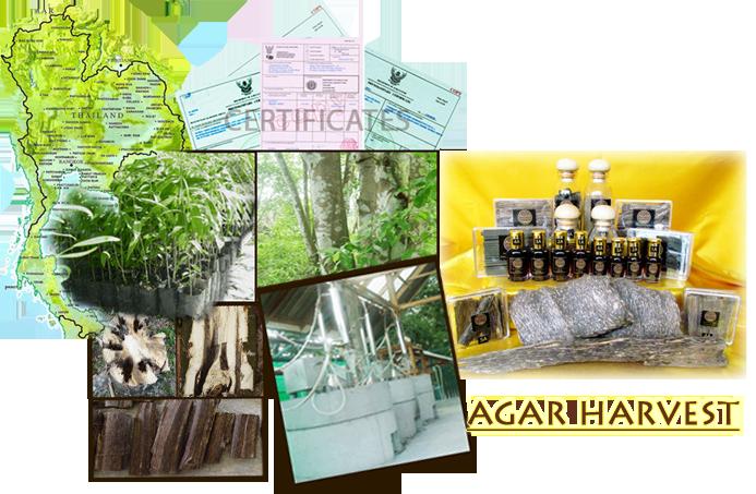 Thailand agarwood oudh gaharu